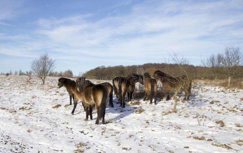 Άγρια άλογα στη χιονώδη δανική φύση στοκ εικόνα