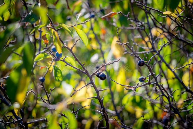Άγρια αγκάθια Μούρα φθινοπώρου στοκ εικόνες