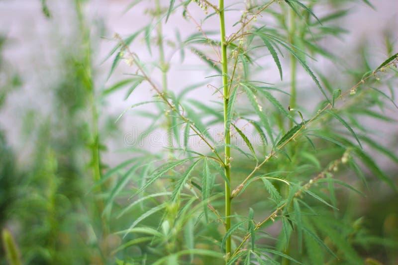 άγρια ανθίζοντας μαριχουάνα θάμνων στοκ εικόνα