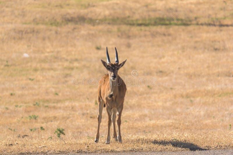 Άγρια αφρικανική αντιλόπη στα λιβάδια μια ηλιόλουστη ημέρα στοκ εικόνες