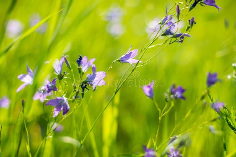 Άγρια βιολετί λουλούδια σε πράσινο γρασίδι στοκ εικόνες