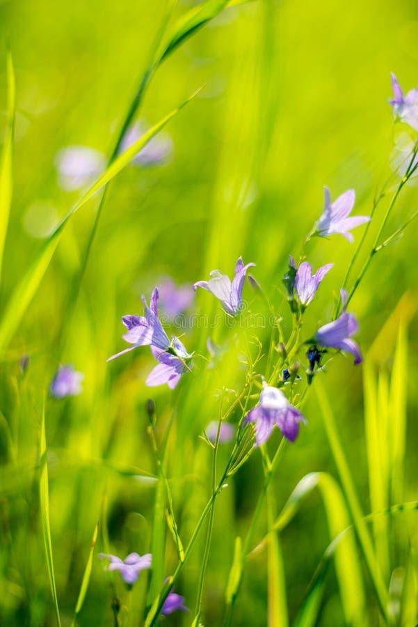 Άγρια βιολετί λουλούδια σε πράσινο γρασίδι στοκ φωτογραφίες