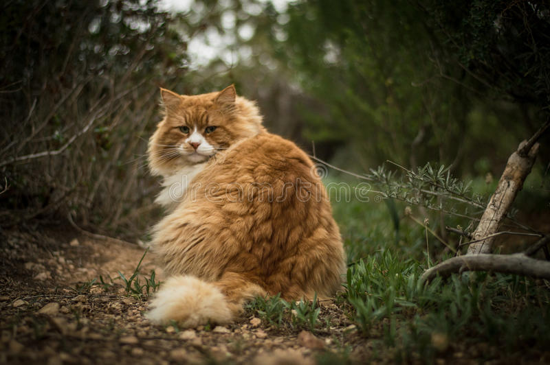Άγρια γάτα στα ξύλα στοκ φωτογραφία με δικαίωμα ελεύθερης χρήσης