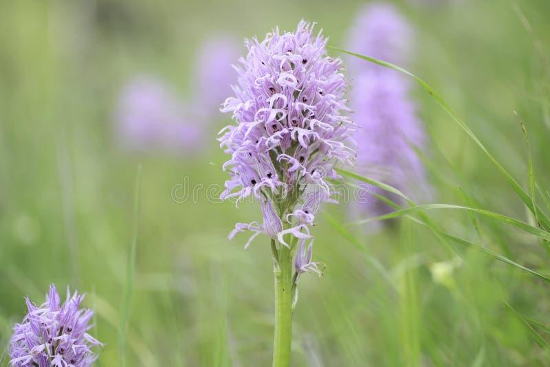 Άγρια εικόνα λεπτομέρειας λουλουδιών βουνών στοκ φωτογραφία