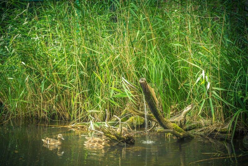 Άγρια επιπλέοντα σώματα παπιών πρασινολαιμών στους καλάμους λιμνών στο υπόβαθρο στοκ φωτογραφία