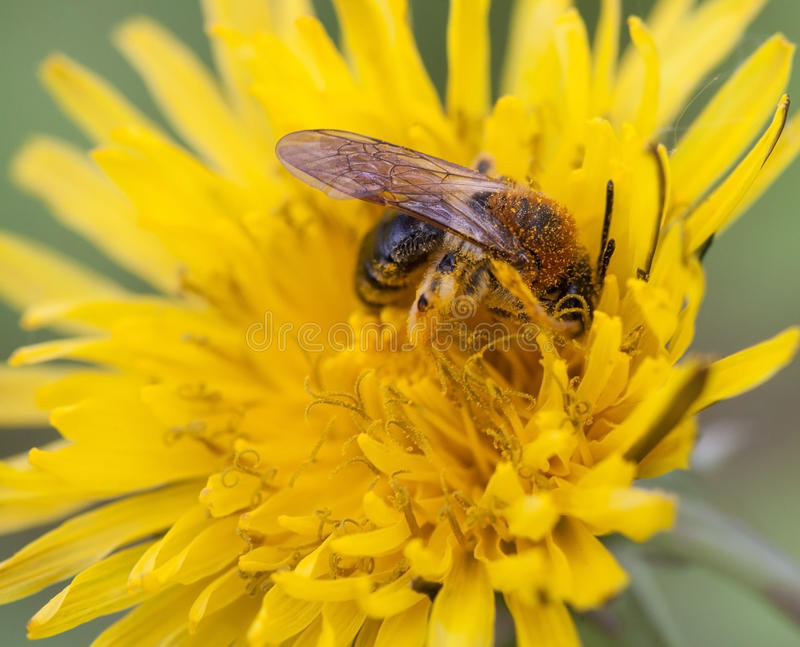 άγρια εργασία μελισσών