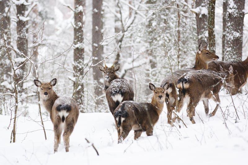 Άγρια ζώα στο φυσικό βιότοπό τους Επισημασμένη οικογένεια ελαφιών Cervus στο βαθύ χιόνι στο χειμερινό δάσος στοκ εικόνα