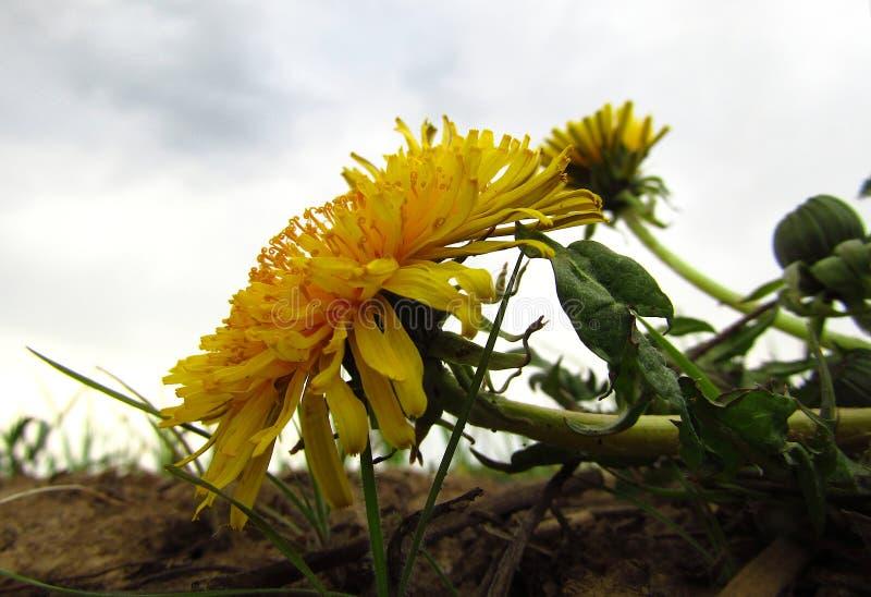 Άγρια κίτρινη πικραλίδα λουλουδιών στον τομέα closeup στοκ φωτογραφία με δικαίωμα ελεύθερης χρήσης