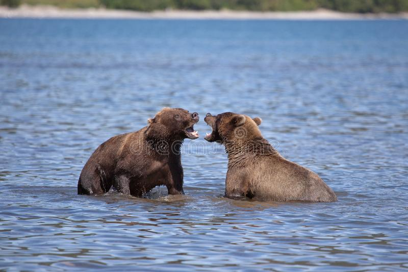 Άγρια καφετιά σταχτιά πάλη αρκούδων στη λίμνη στοκ φωτογραφίες