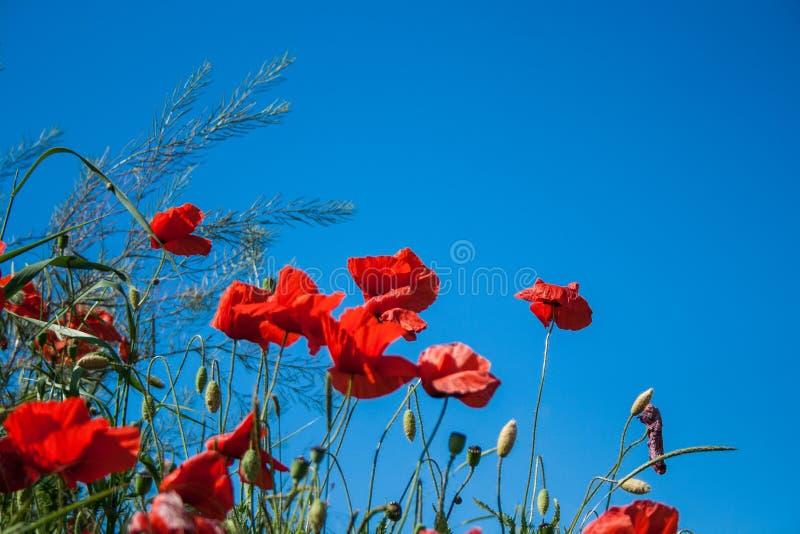 Άγρια κόκκινα λουλούδια παπαρουνών ενάντια στο μπλε ουρανό στοκ εικόνες