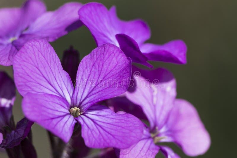 Άγρια λουλούδια βιολέτων κατά τη διάρκεια του συνόλου άνοιξη των λεπτομερειών στοκ εικόνες