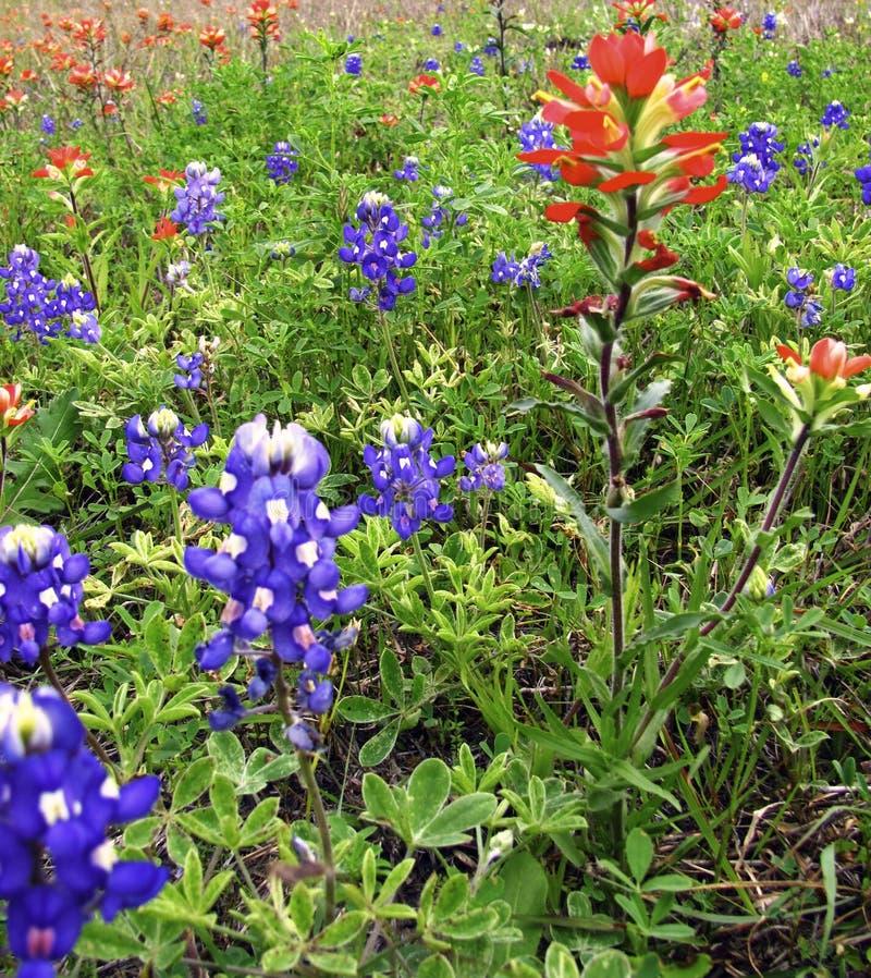 Άγρια λουλούδια, μπλε καπό και κόκκινο και ρόδινο ινδικό πινέλο στοκ εικόνες