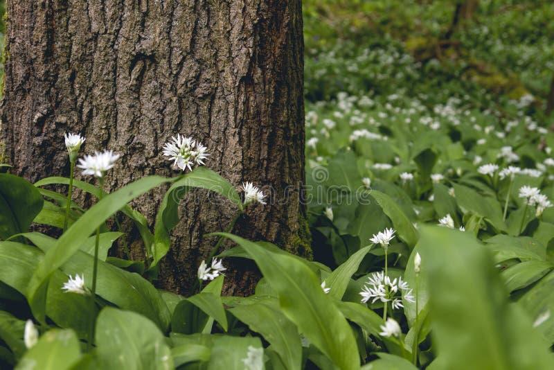 Άγρια λουλούδια σκόρδου αρκούδας που αυξάνονται στην άνοιξη στο δασικό χώμα στοκ φωτογραφία