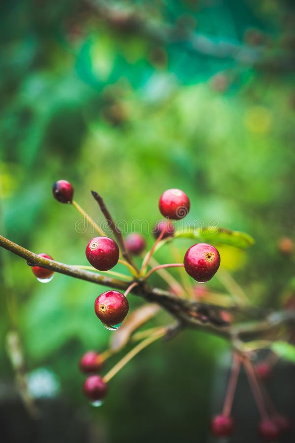 Άγρια μήλα καβουριών μήλων στο δέντρο στοκ φωτογραφίες