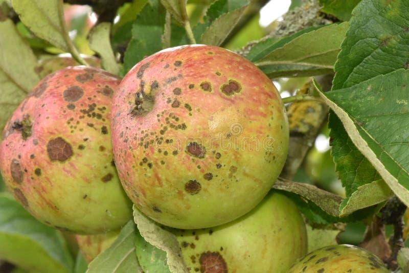 Άγρια μήλα καβουριών που ερημώνονται μέχρι το χρόνο και τα στοιχεία του χειμερινού καιρού στοκ εικόνες