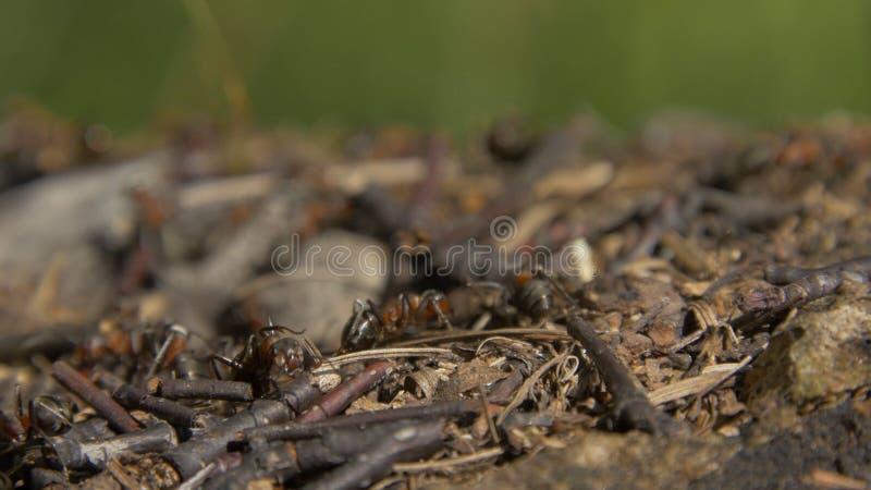 Άγρια μυρμήγκια κινηματογραφήσεων σε πρώτο πλάνο που συρρέουν γύρω από τις μυρμηγκοφωλιές τους Μυρμηγκοφωλιά στο δάσος μεταξύ των στοκ φωτογραφίες