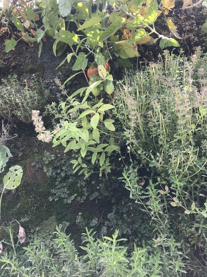 Άγρια ντομάτα στο φυσικό περιβάλλον του στοκ φωτογραφίες με δικαίωμα ελεύθερης χρήσης