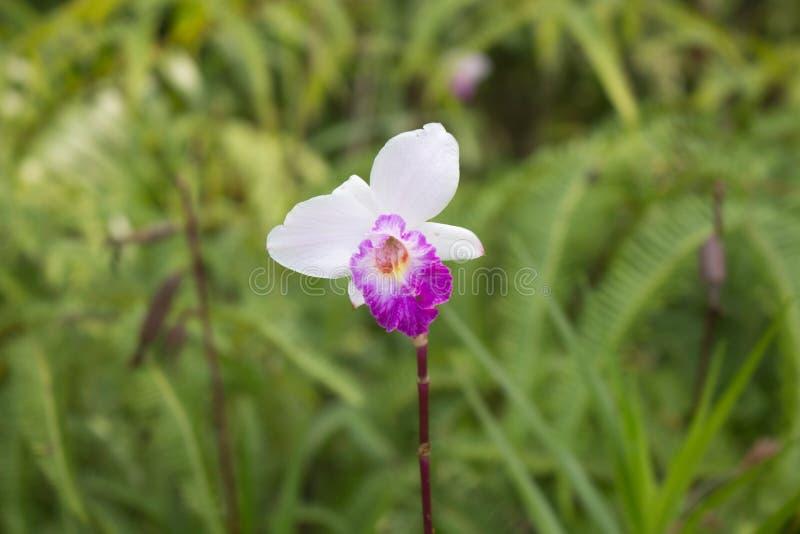 Άγρια ορχιδέα & x28 Μπαμπού Orchid& x29  στοκ φωτογραφίες με δικαίωμα ελεύθερης χρήσης