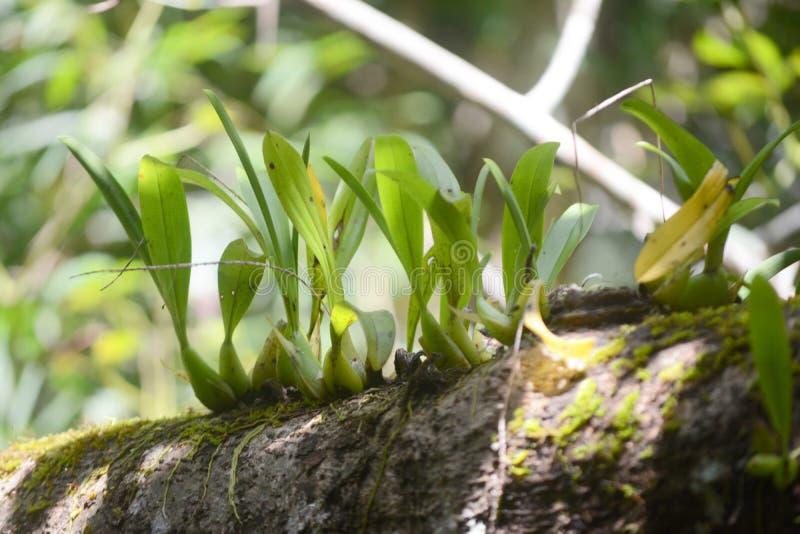 Άγρια ορχιδέα στο δέντρο στοκ εικόνα