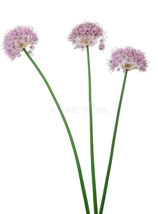 Άγρια λουλούδια σκόρδου στοκ εικόνα με δικαίωμα ελεύθερης χρήσης