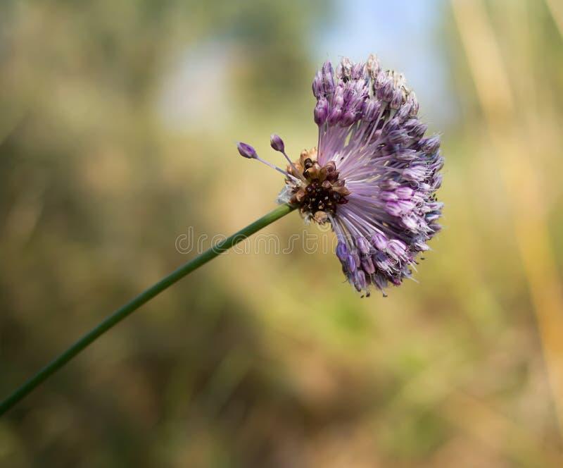 Άγρια λουλούδι σκόρδου και κεφάλι σπόρου - Allium ursinum στοκ εικόνες