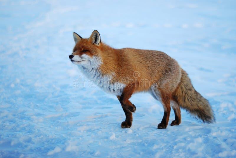 άγρια περιοχές αλεπούδω&nu στοκ εικόνες