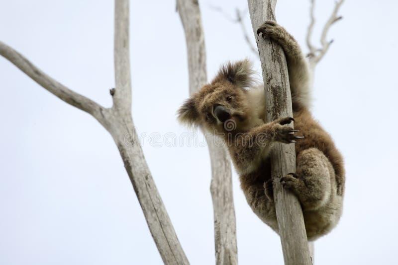 άγρια περιοχές δέντρων koala επάνω στοκ φωτογραφίες