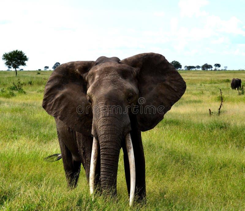 άγρια περιοχές ελεφάντων στοκ φωτογραφίες