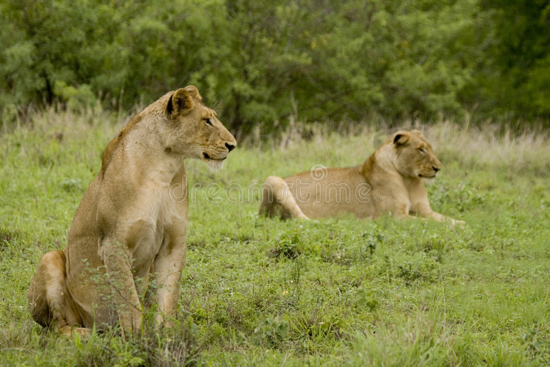 άγρια περιοχές ζευγαριού λιονταριών στοκ φωτογραφία με δικαίωμα ελεύθερης χρήσης