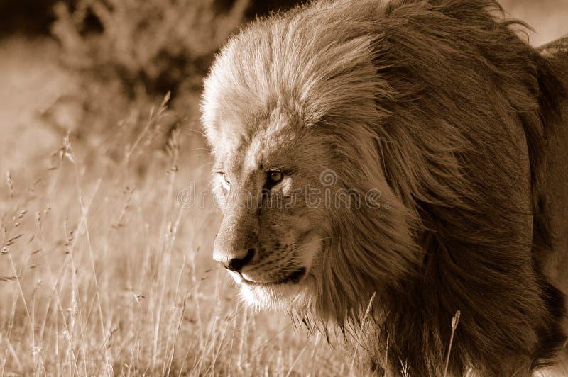 άγρια περιοχές λιονταριών στοκ εικόνες