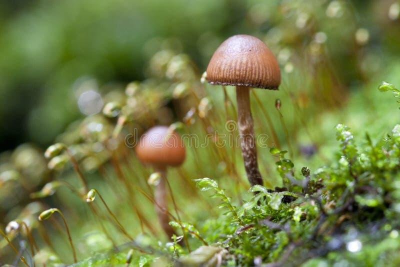 άγρια περιοχές μανιταριών &beta στοκ φωτογραφία με δικαίωμα ελεύθερης χρήσης