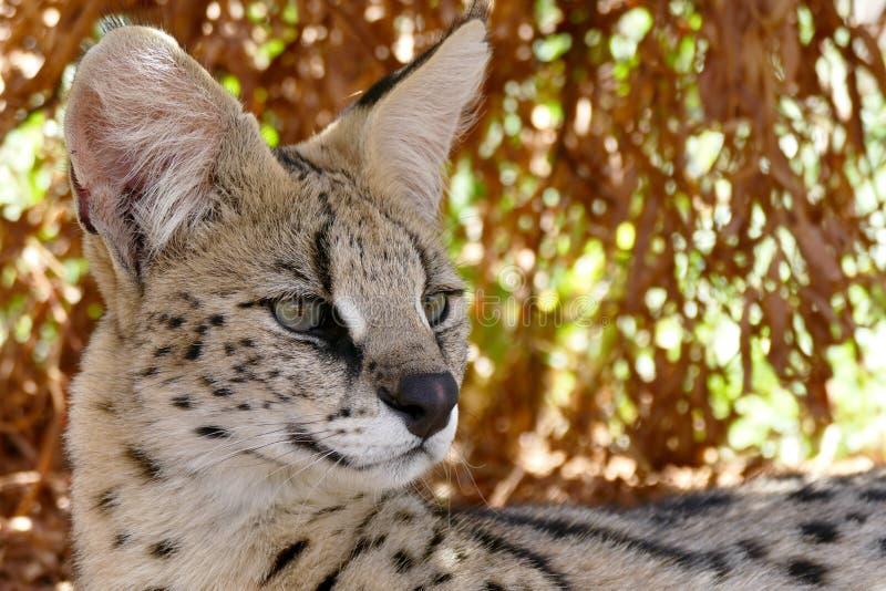 Άγρια περιοχές σχεδιαγράμματος Serval στοκ φωτογραφίες με δικαίωμα ελεύθερης χρήσης