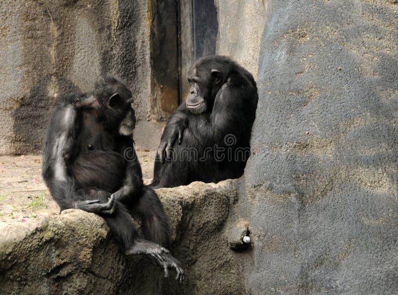 άγρια περιοχές χιμπατζήδω&nu στοκ φωτογραφία