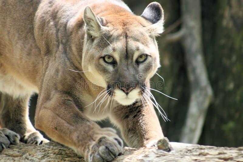 άγρια περιοχές puma στοκ εικόνα με δικαίωμα ελεύθερης χρήσης