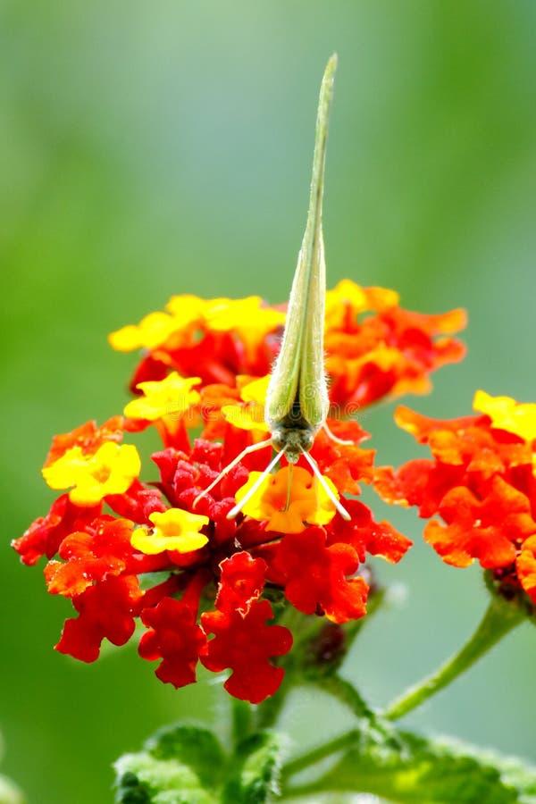 Άγρια πεταλούδα ΙΙΙ στοκ φωτογραφία