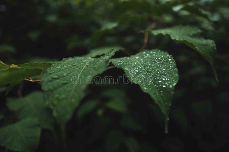 Άγρια πράσινα φύλλα με τη δροσιά σε τους ελεύθερη απεικόνιση δικαιώματος
