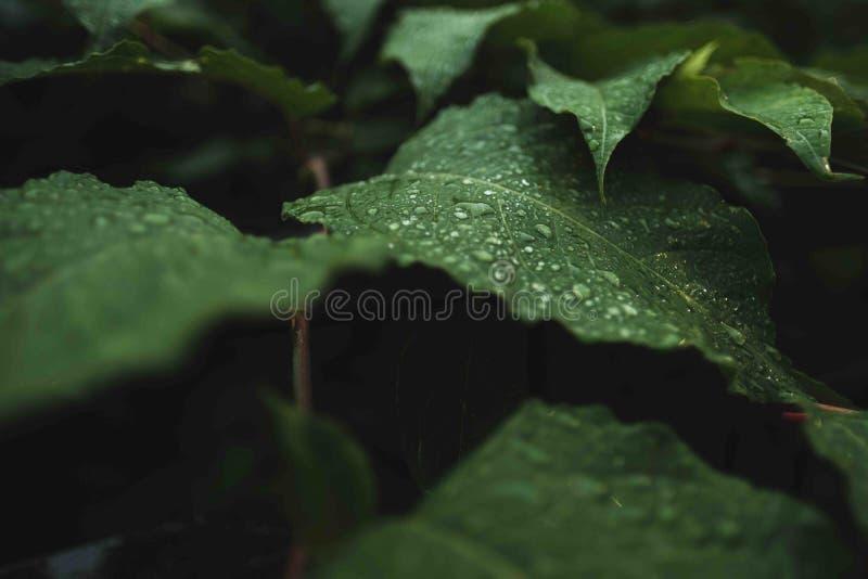 Άγρια πράσινα φύλλα με τη δροσιά σε τους απεικόνιση αποθεμάτων