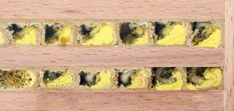 Άγρια προνύμφη μελισσών στην κυψέλη του στοκ εικόνες