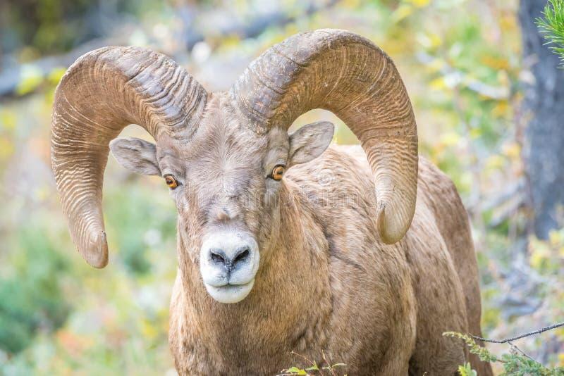 Άγρια πρόβατα Bighorn που εξετάζουν τη κάμερα στοκ εικόνα με δικαίωμα ελεύθερης χρήσης