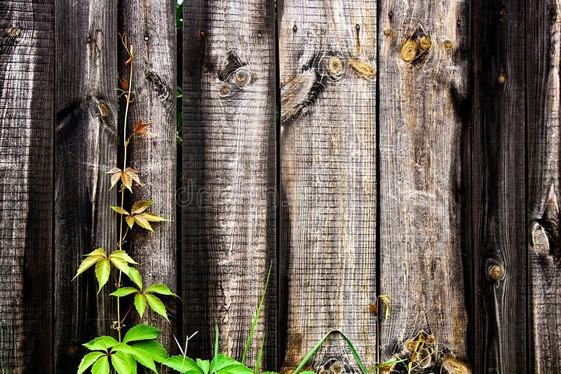 Άγρια σταφύλια φυλλώματος στο εκλεκτής ποιότητας ξύλινο υπόβαθρο με το διάστημα αντιγράφων στοκ εικόνες