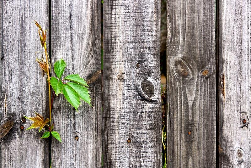 Άγρια σταφύλια φυλλώματος στο εκλεκτής ποιότητας ξύλινο υπόβαθρο με το διάστημα αντιγράφων στοκ φωτογραφίες