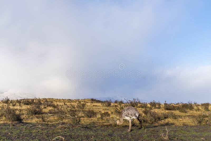 Άγρια στρουθοκάμηλος pampas στοκ εικόνες