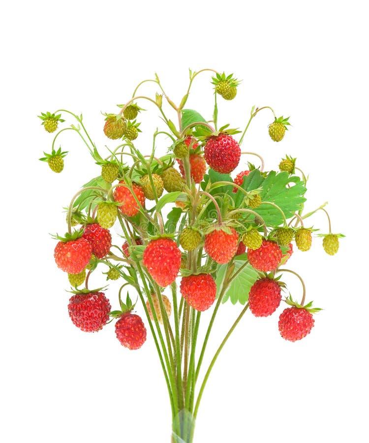 Άγρια φράουλα που απομονώνεται στην άσπρη ανασκόπηση στοκ φωτογραφίες
