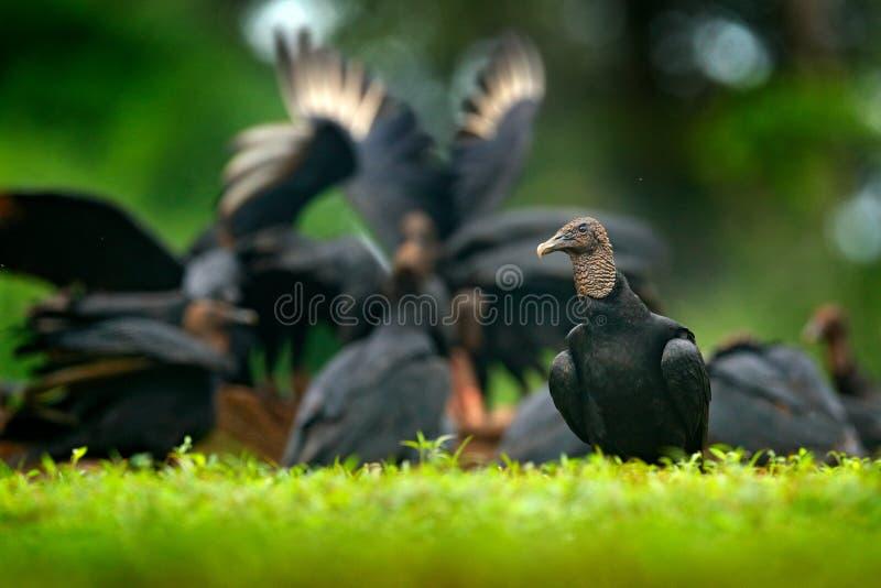 Άγρια φύση Παναμάς Άσχημος μαύρος μαύρος γύπας πουλιών, atratus Coragyps, που κάθεται στην πράσινη βλάστηση, πουλί με το ανοικτό  στοκ εικόνες