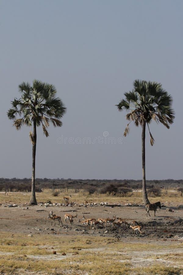 άγρια φύση etosha στοκ φωτογραφίες