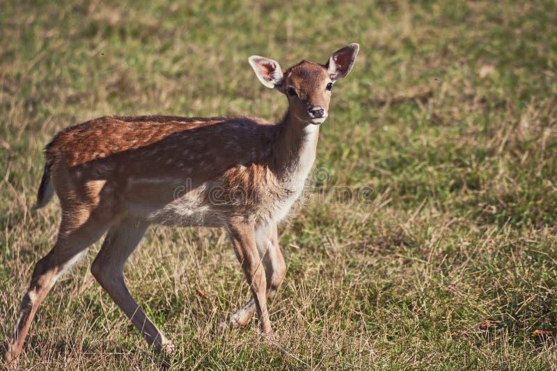 Άγρια φύση, fawn περπατώντας στον πράσινο τομέα στοκ εικόνες με δικαίωμα ελεύθερης χρήσης