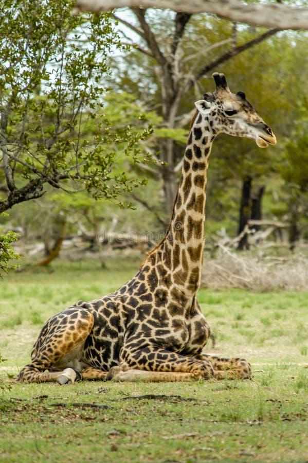 Άγρια φύση - Giraffe στοκ φωτογραφίες