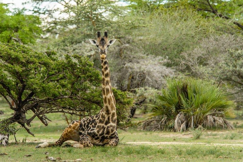 Άγρια φύση - Giraffe στοκ εικόνες