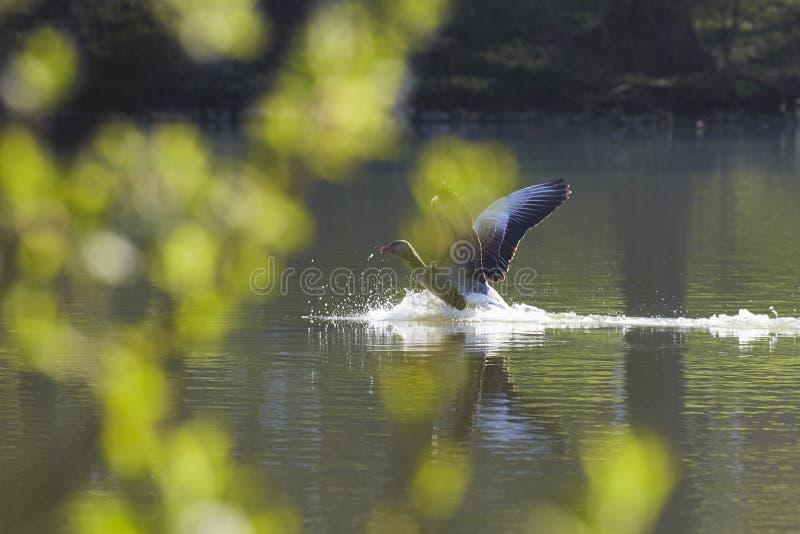 Άγρια χήνα που προσγειώνεται σε μια λίμνη στοκ εικόνες