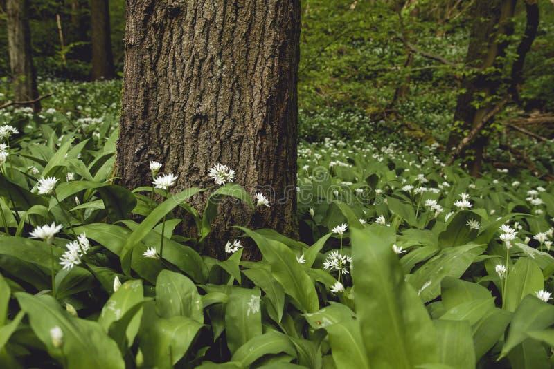 Άγρια allium άσπρα λουλούδια ursinum στοκ εικόνες με δικαίωμα ελεύθερης χρήσης